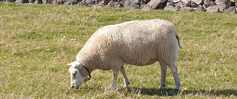 Schafe am Deich von Stavoren